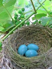 eggs on the nest