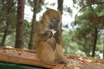 monkey eating apple and do not let go